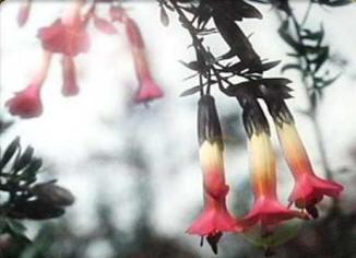 Kantuta - Fiore d'alta quota